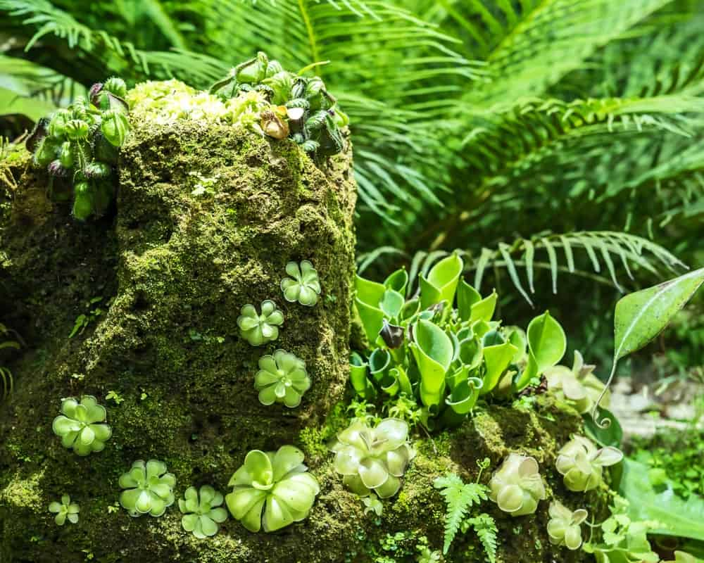 Clusters of blooming carnivorous corkscrew plants.